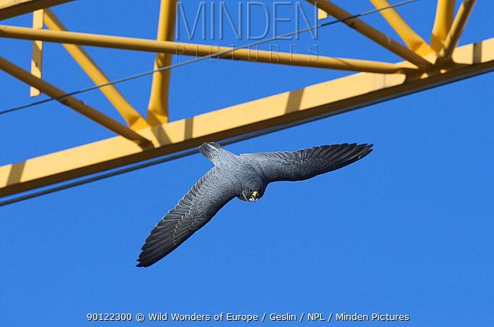 Peregrine falcon (Falco peregrinus) flying past crane, Barcelona, Spain, April 2009  -  WWE/ Geslin/ npl