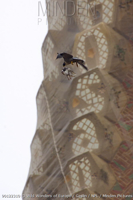 Peregrine falcon (Falco peregrinus) flying past a spire of the Sagrada familia cathedral carrying prey (pigeon) in its beak, Barcelona, Spain, April 2009  -  WWE/ Geslin/ npl