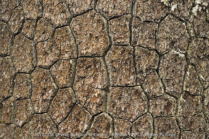 Close-up of Bosnian pine (Pinus leucodermis) bark, Pollino National Park, Basilicata, Italy, May 2009  -  WWE/ Muller/ npl