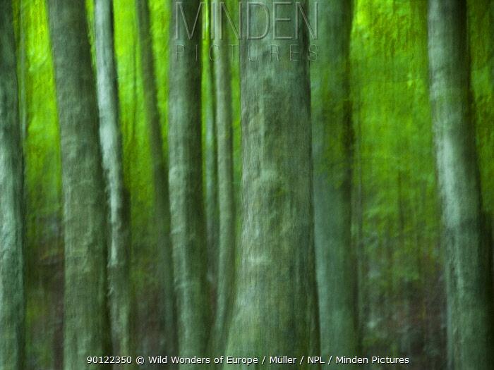 Abstract European beech trees (Fagus sylvatica) Pollino National Park, Basilicata, Italy, June 2009  -  WWE/ Muller/ npl