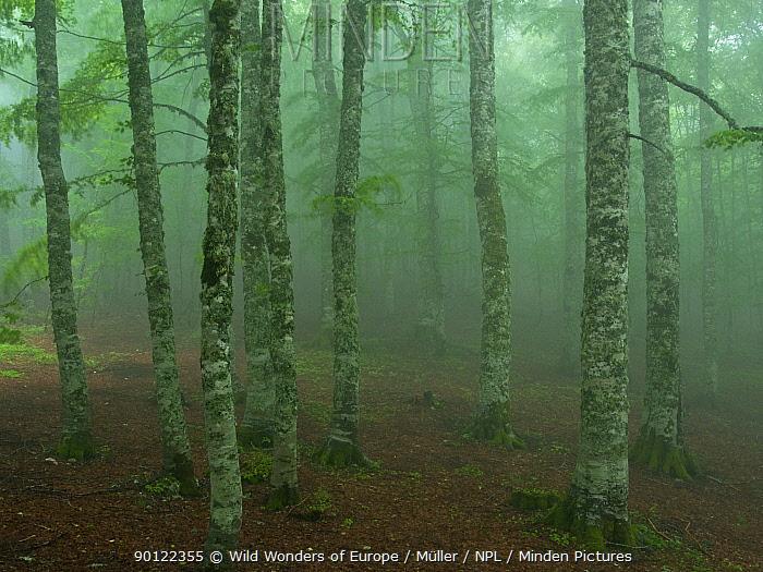 European beech tree (Fagus sylvatica) forest in light mist, Pollino National Park, Basilicata, Italy, June 2009  -  WWE/ Muller/ npl