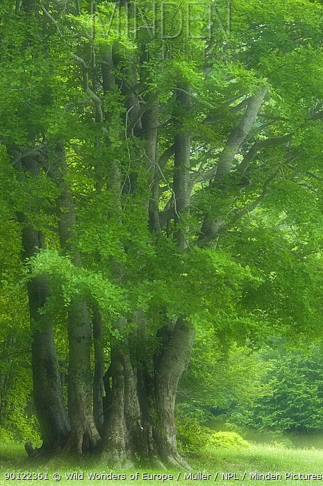 European beech trees (Fagus sylvatica) Pollino National Park, Basilicata, Italy, June 2009  -  WWE/ Muller/ npl