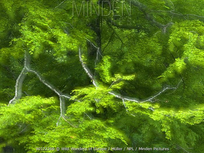European beech (Fagus sylvatica) branches, Pollino National Park, Basilicata, Italy, June 2009  -  WWE/ Muller/ npl