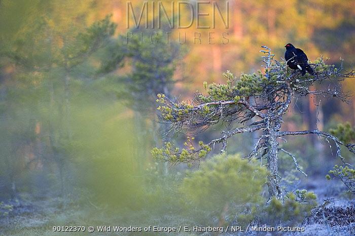 Black grouse (Tetrao tetrix) on top of a small tree displaying, Bergslagen, Sweden, April 2009  -  WWE/ E. Haarberg/ npl