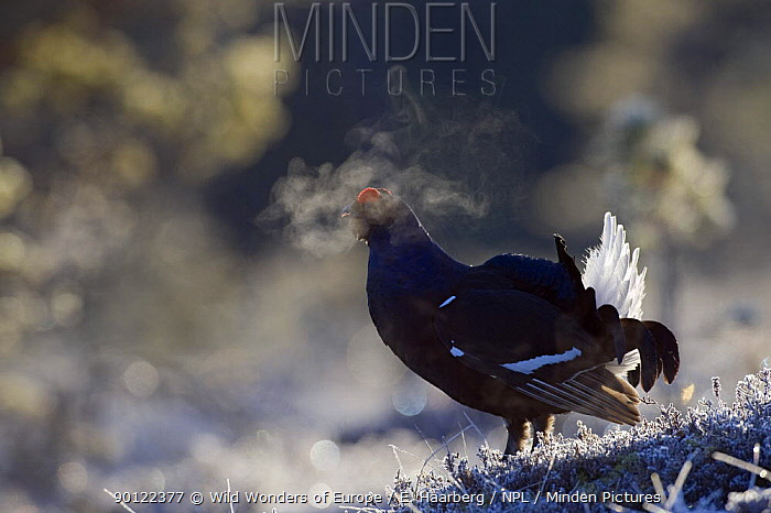 Black grouse (Tetrao tertrix) male expiring warm air on a cold morning, while displaying, Bergslagen, Sweden, April 2009  -  WWE/ E. Haarberg/ npl