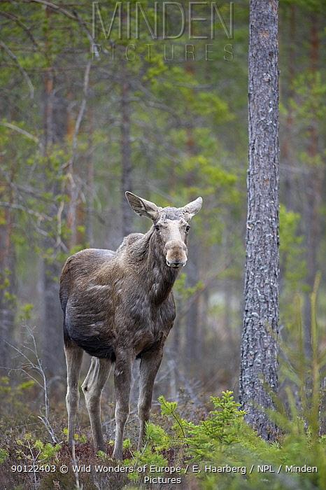 Moose (Alces alces) in pine forest, Bergslagen, Sweden, April 2009  -  WWE/ E. Haarberg/ npl