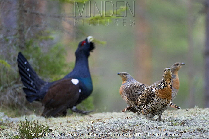 Capercaillie (Tetrao urogallus) cock displaying two three females in forest, Bergslagen, Sweden, April 2009  -  WWE/ E. Haarberg/ npl