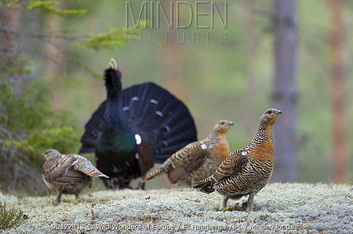 Capercaillie (Tetrao urogallus) cock displaying to three females in forest, Bergslagen, Sweden, April 2009  -  WWE/ E. Haarberg/ npl
