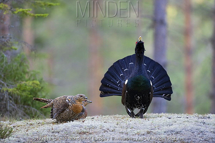 Capercaillie (Tetrao urogallus) cock displaying to females in forest, Bergslagen, Sweden, April 2009  -  WWE/ E. Haarberg/ npl