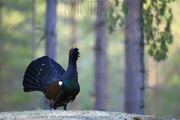 Capercaillie (Tetrao urogallus) cock displaying in the forest, Bergslagen, Sweden, April 2009  -  WWE/ E. Haarberg/ npl