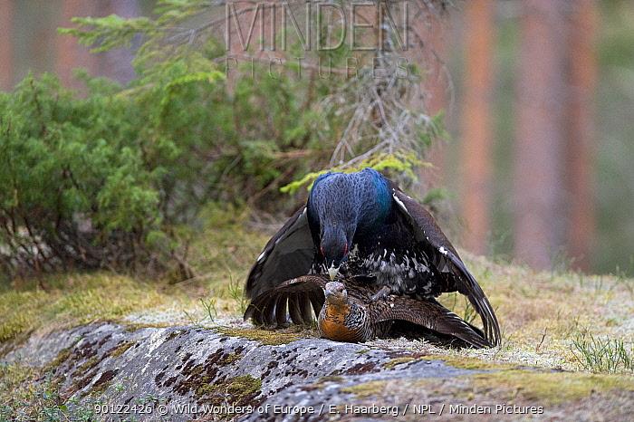 Capercaillie (Tetrao urogallus) pair mating, Bergslagen, Sweden, April 2009  -  WWE/ E. Haarberg/ npl