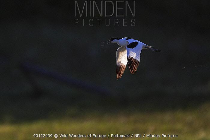 Avocet (Recurvirostra avosetta) in flight, Texel, Holland, May 2009  -  WWE/ Peltomaki/ npl