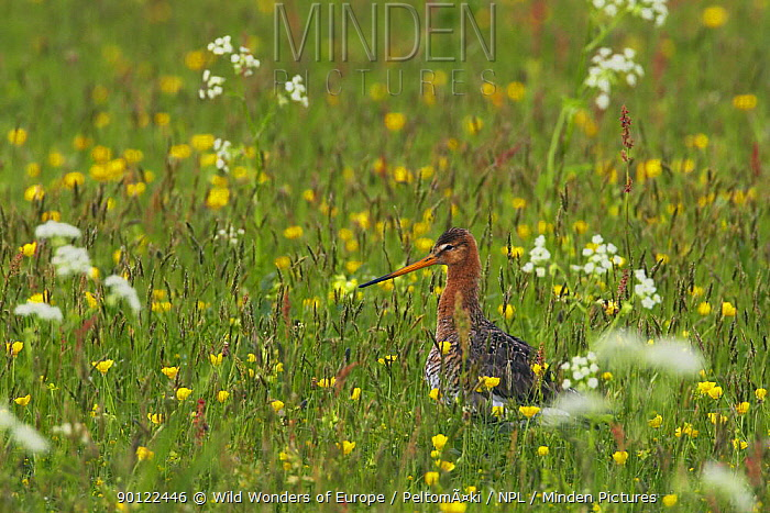 Black-tailed godwit (Limosa limosa) in meadow, Texel, Netherlands, May 2009  -  WWE/ Peltomaki/ npl