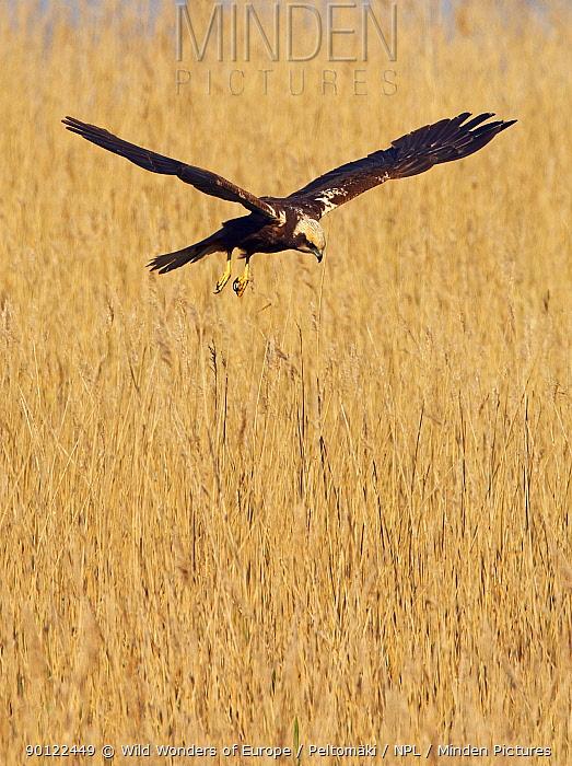 Female Marsh harrier (Circus aeruginosus) hovering over reeds, Texel, Netherlands, May 2009  -  WWE/ Peltomaki/ npl