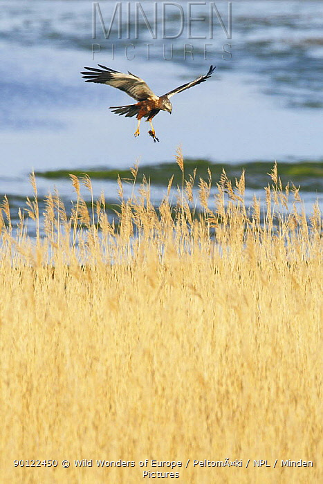 Marsh harrier (Circus aeruginosus) in flight carrying prey over reedbeds, Texel, Netherlands, May 2009  -  WWE/ Peltomaki/ npl