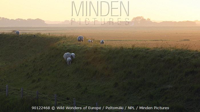 Texel sheep, Texel, Netherlands, May 2009  -  WWE/ Peltomaki/ npl