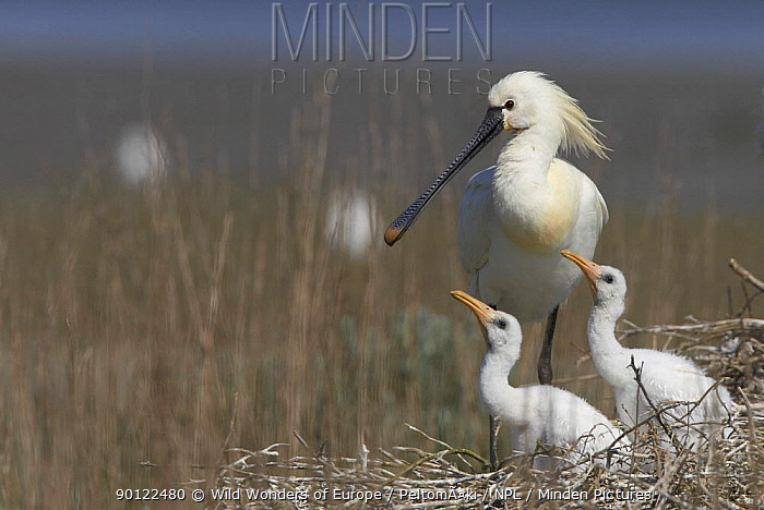 Spoonbill (Platalea leucorodia) at nest with two chicks, Texel, Netherlands, May 2009  -  WWE/ Peltomaki/ npl