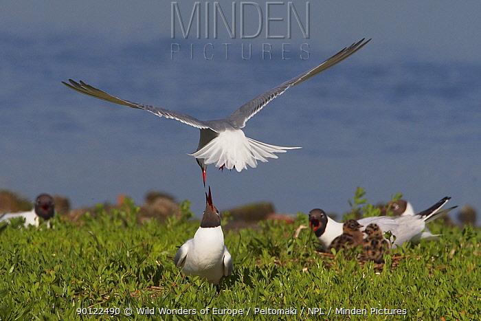 Common tern (Sterna hirundo) feeding mate at nest site, Texel, Netherlands, May 2009  -  WWE/ Peltomaki/ npl
