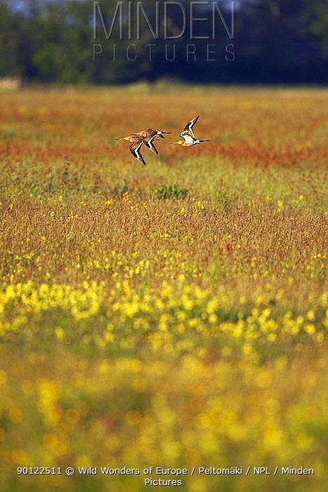 Black tailed godwits (Limosa limosa) flying, Texel, Netherlands, May 2009  -  WWE/ Peltomaki/ npl