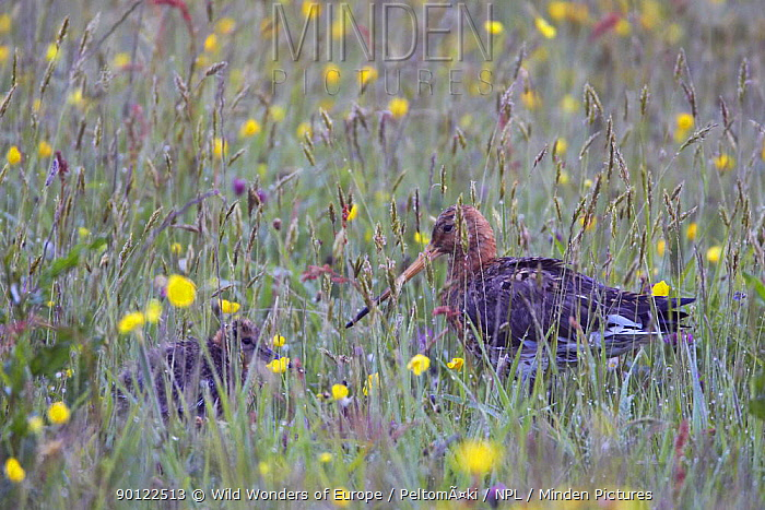 Black tailed godwit (Limosa limosa) with chick in field, Texel, Netherlands, May 2009  -  WWE/ Peltomaki/ npl