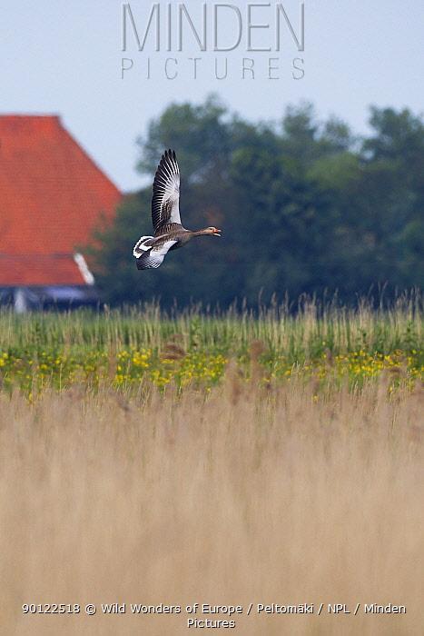 Greylag goose (Anser anser) in flight, Texel, Netherlands, May 2009  -  WWE/ Peltomaki/ npl