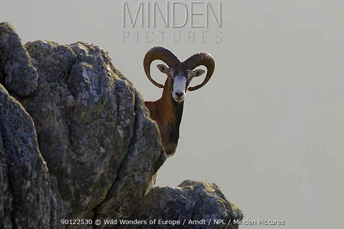 Mouflon (Ovis musimon) male on rock, Parc naturel regional du Haut-Languedoc, Caroux, France, July 2009 WWE BOOK PLATE  -  WWE/ Arndt/ npl