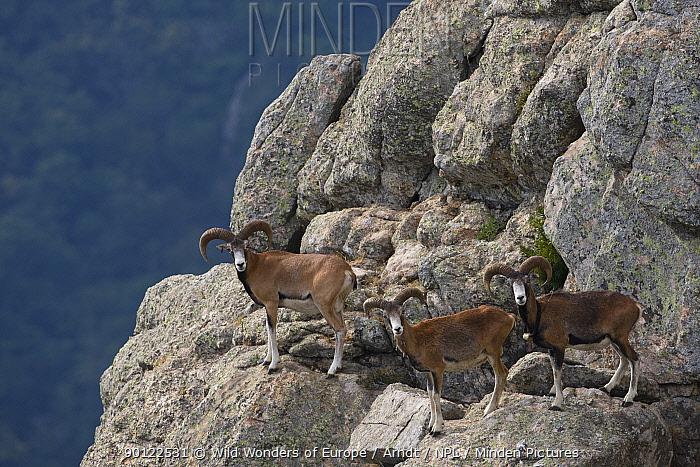 Three Mouflon (Ovis musimon) males on rock face, Parc naturel regional du Haut-Languedoc, Caroux, France, July 2009  -  WWE/ Arndt/ npl