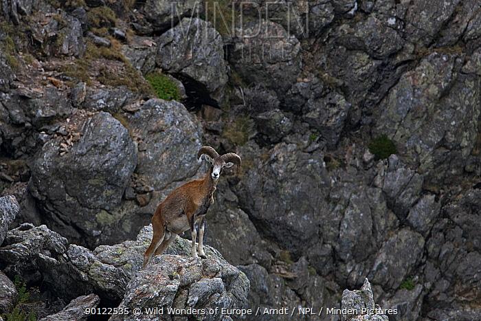 Mouflon (Ovis musimon) male on rock outlook, Parc naturel regional du Haut-Languedoc, Caroux, France, July 2009  -  WWE/ Arndt/ npl