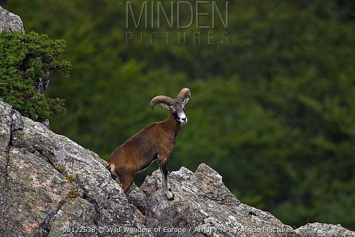 Mouflon (Ovis musimon) male on rocks, Parc naturel regional du Haut-Languedoc, Caroux, France, July 2009  -  WWE/ Arndt/ npl