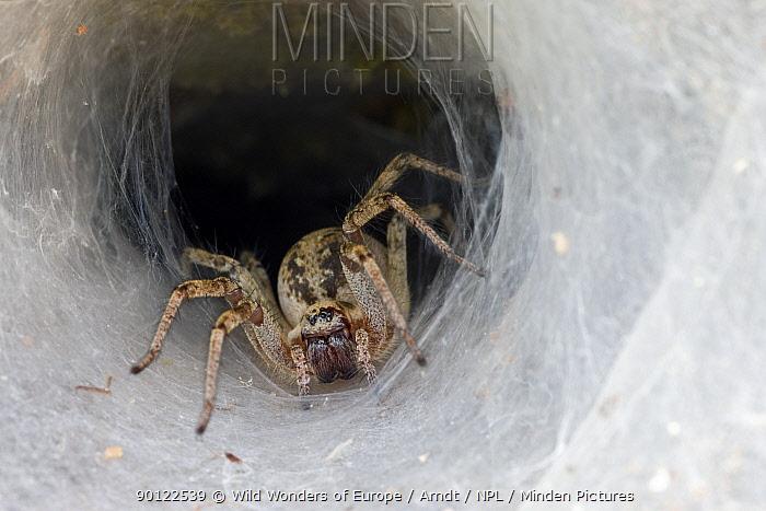Labyrinth spider (Agelena labyrinthica) waiting for prey on web, Parc naturel regional du Haut-Languedoc, Caroux, France, July 2009  -  WWE/ Arndt/ npl