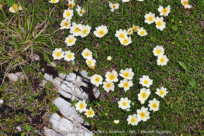 Mountain avens, White dryas (Dryas octopetala) in flower, Tre Cime di Lavaredo, Sexten Dolomites, South Tyrol, Italy, Europe, July 2009  -  WWE/ Krahmer/ npl