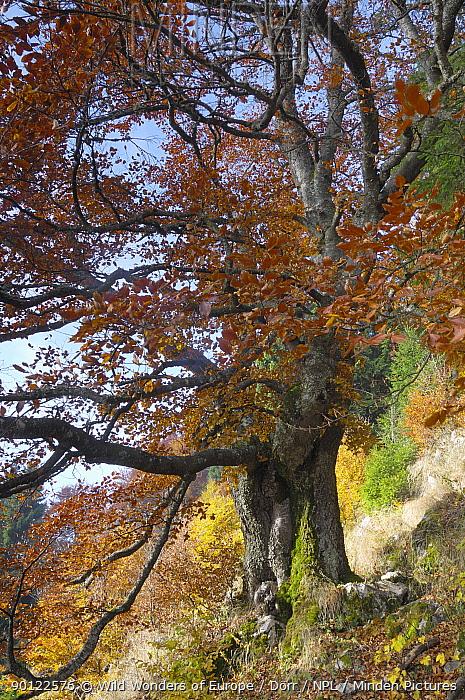 Old beech tree (Fagus sylvatica) in autumn, Piatra Craiului NP, Transylvania, Southern Carpathian Mountains, Romania, October 2008  -  WWE/ Doerr/ npl