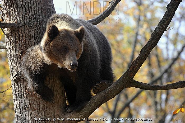 European brown bear (Ursus arctos) in tree, captive, Private Bear Park, near Brasov, Romania, October 2008  -  WWE/ Doerr/ npl