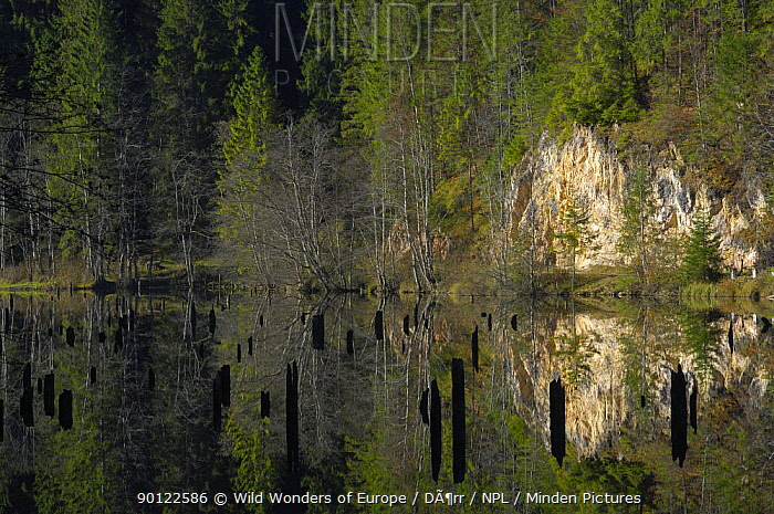 Landscape reflected in Red Lake with tree stumps sticking out of water, Cheile Bicazului-Hasmas National Park, Carpathian, Transsylvania, Romania, October 2008  -  WWE/ Doerr/ npl