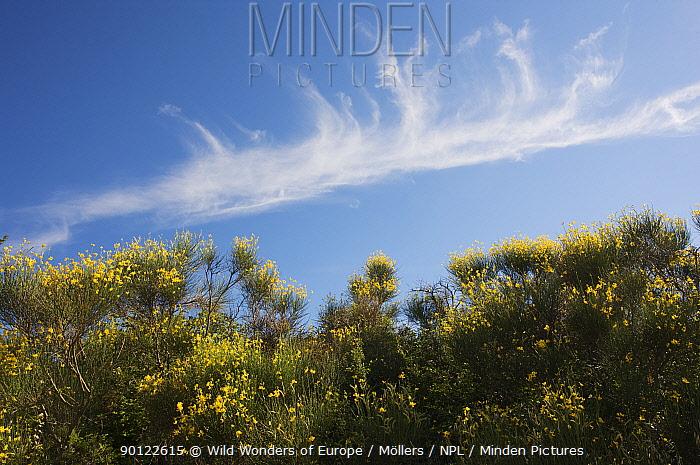 Clouds over Spanish broom (Spartium junceum) in flower, San Marino, May 2009  -  WWE/ Mollers/ npl