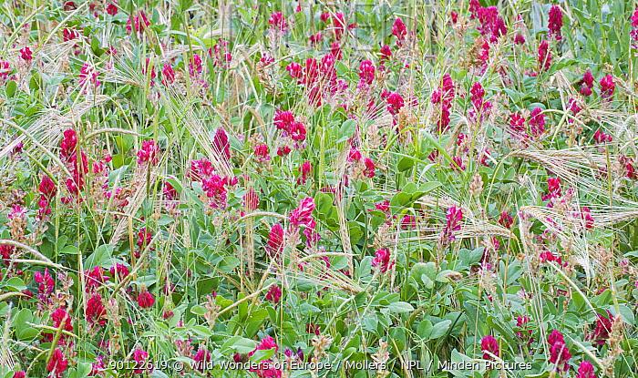 Italian sainfoin (Hedysarum coronarium) flowering in meadow, San Marino, May 2009  -  WWE/ Mollers/ npl