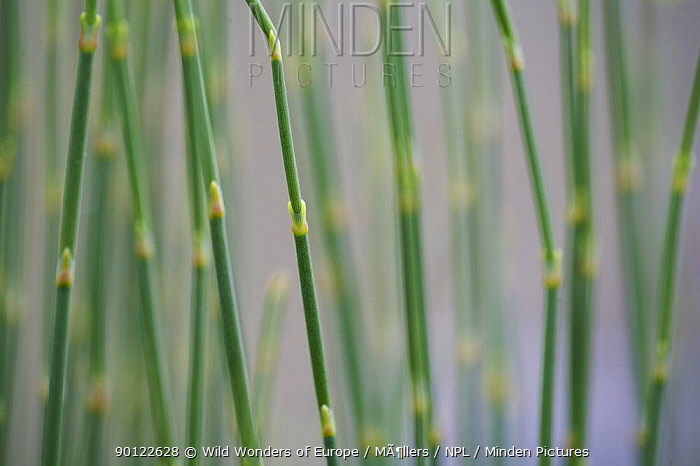 Close-up of Ephedra (Ephedra major) growing on the cliff's edge of Monte Titano, San Marino, May 2009  -  WWE/ Mollers/ npl