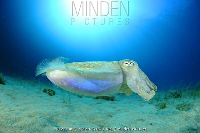Common cuttlefish (Sepia officinalis) profile, Malta, Mediteranean, May 2009  -  WWE/ Zankl/ npl