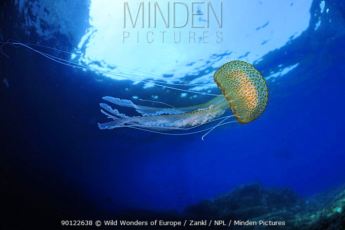 Purple stinger, Common jellyfish (Pelagia noctiluca) Malta, Mediteranean, May 2009  -  WWE/ Zankl/ npl