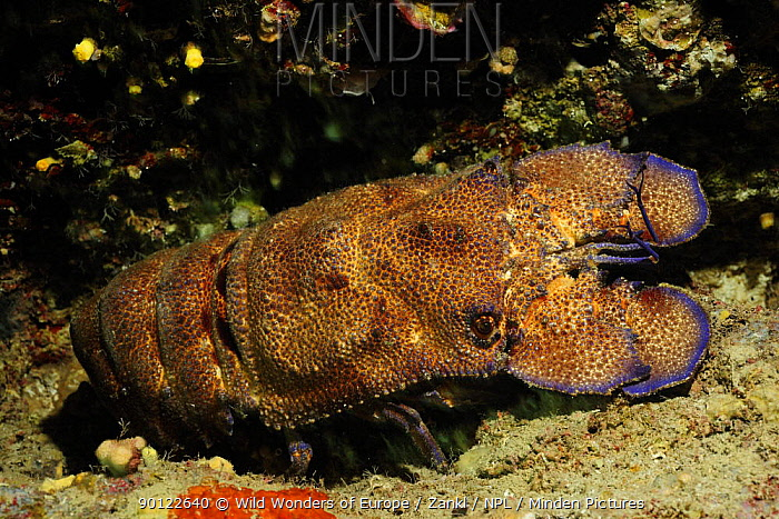 European paddle nosed, Spanish lobster (Scyllarides latus) Malta, Mediteranean, May 2009  -  WWE/ Zankl/ npl
