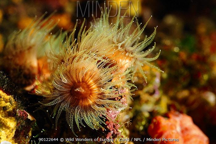 White coral (Cladocora cespitosa) Malta, Mediteranean, May 2009  -  WWE/ Zankl/ npl
