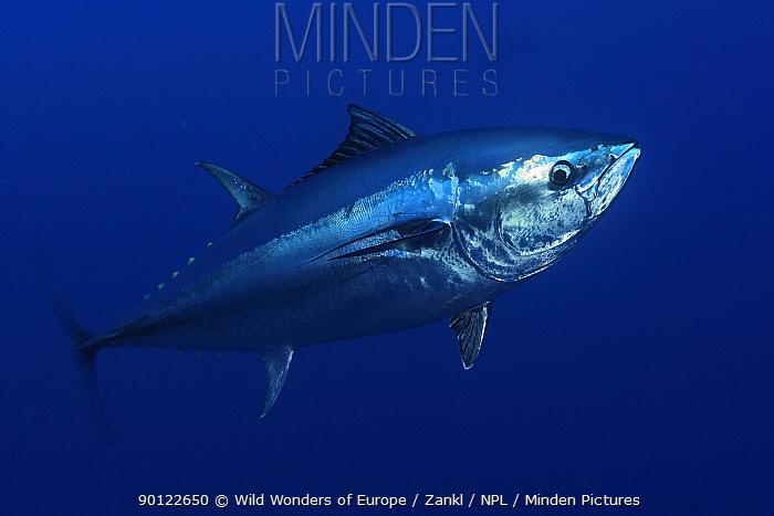 Atlantic bluefin tuna (Thunnus thynnus) portrait, captive, Malta, Mediteranean, May 2009  -  WWE/ Zankl/ npl
