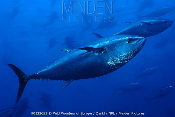 Atlantic bluefin tuna (Thunnus thynnus) captive, Malta, Mediteranean, May 2009  -  WWE/ Zankl/ npl