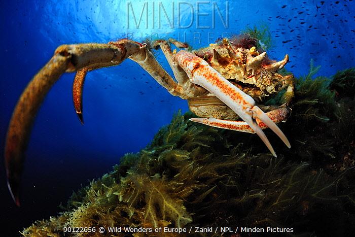 Spiny spider crab (Maja squinado) Malta, Mediteranean, May 2009  -  WWE/ Zankl/ npl