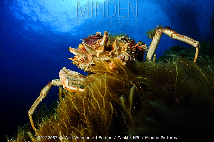 Spiny spider crab (Maja squinado) on seaweed, Malta, Mediteranean, May 2009  -  WWE/ Zankl/ npl