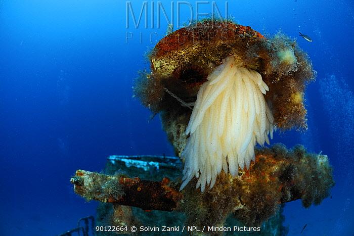 Squid eggs on the P29 patrol boat wreck, Malta, Mediteranean, May 2009  -  WWE/ Zankl/ npl