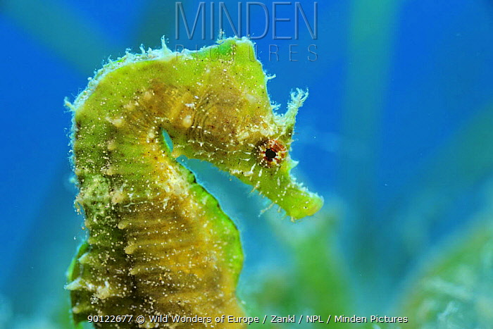 Short snouted seahorse (Hippocampus hippocampus) profile, Malta, Mediteranean, June 2009 WWE INDOOR EXHIBITION  -  WWE/ Zankl/ npl