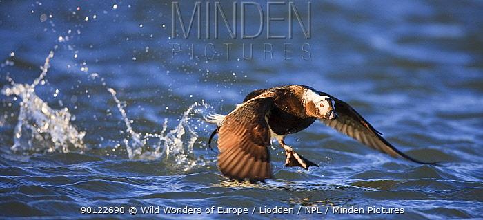 Long tailed duck (Clangula hyemalis) taking off, Spitsbergen, Svalbard, Norway, June 2009  -  WWE/ Liodden/ npl