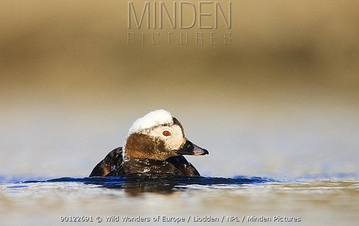 Long tailed duck (Clangula hyemalis) on water, Spitsbergen, Svalbard, Norway, June 2009  -  WWE/ Liodden/ npl