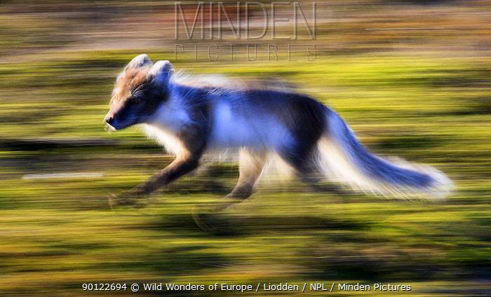 Arctic fox (Vulpes, Alopex lagopus) running, Spitsbergen, Svalbard, Norway, June 2009  -  WWE/ Liodden/ npl